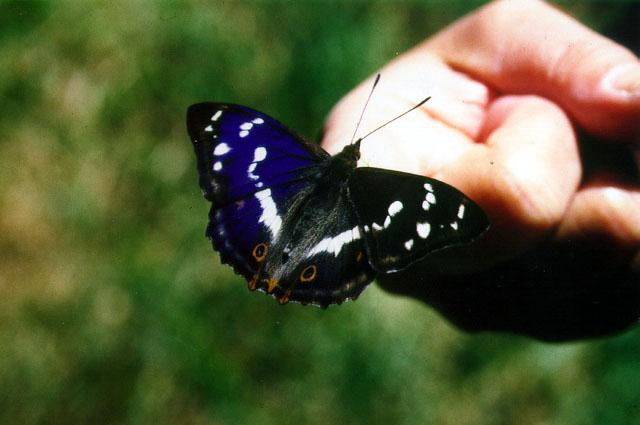 Purple Emperor (Apatura iris) <!--번개오색나비-->; Image ONLY