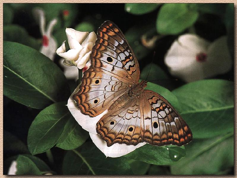White Peacock Butterfly (Anartia jatrophae) {!--흰공작나비(아메리카)-->; Image ONLY