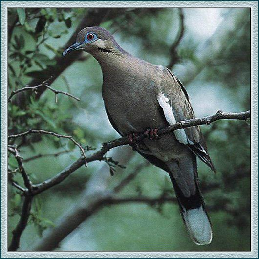 White-winged Dove (Zenaida asiatica) <!--흰죽지비둘기(아메리카대륙)-->; Image ONLY