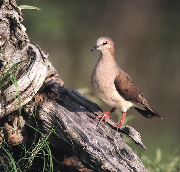 White-tipped Dove (Leptotila verreauxi) <!--흰이마비둘기(아메리카대륙)-->; Image ONLY