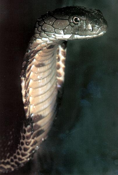 King Cobra (Ophiophagus hannah) <!--왕코브라(킹코브라)-->; Image ONLY