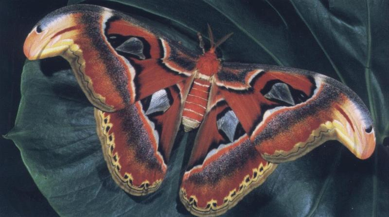 Atlas Moth (Attacus atlas) <!--아틀라스대왕나방(동남아시아)-->; DISPLAY FULL IMAGE.