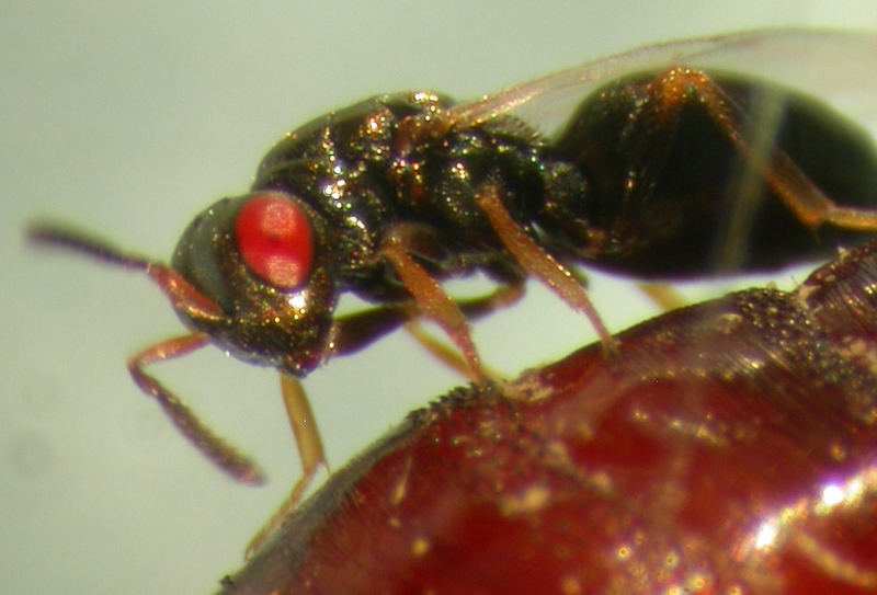 Jewel Wasp (Nasonia vitripennis) <!--파리금종벌-->; DISPLAY FULL IMAGE.