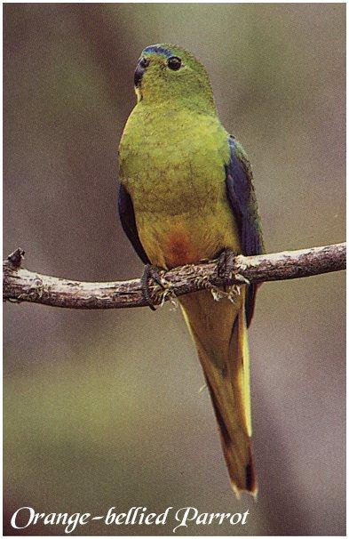 Orange-bellied Parrot (Neophema chrysogaster) <!--오렌지배꼽앵무(호주)-->; Image ONLY