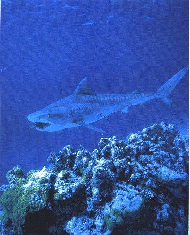 Tiger Shark (Galeocerdo cuvier) <!--뱀상어-->; Image ONLY