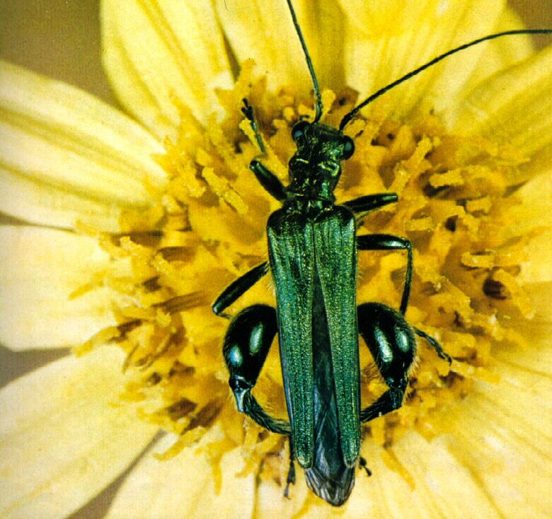Thick-legged Flower Beetle (Oedemera nobilis) <!--굵은다리하늘소붙이(영국)-->; Image ONLY