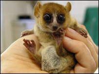 New lemurs found in Madagascar  [BBC 2005-08-09]; Image ONLY