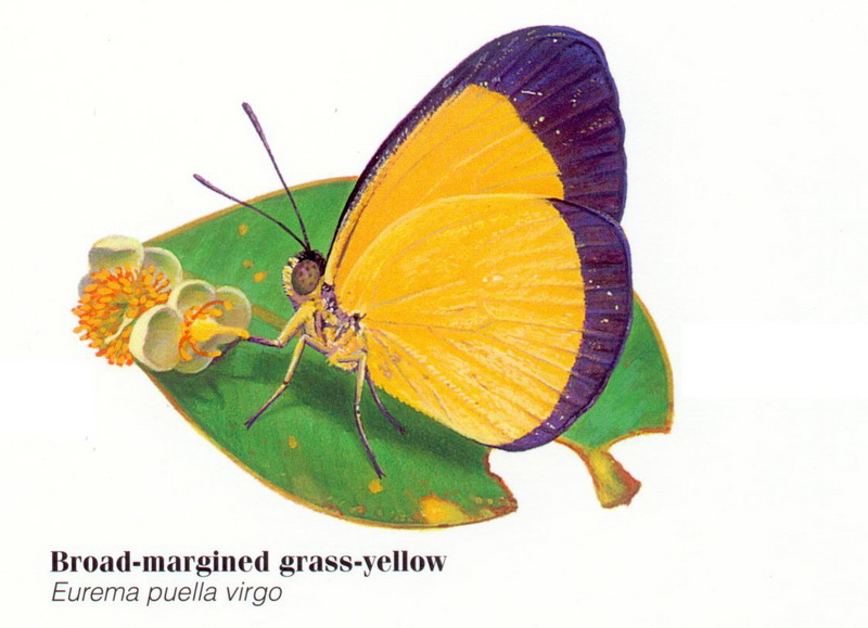 Broad-margined Grass-Yellow Butterfly(Eurema puella virgo) <!--호주산 노랑나비류-->; DISPLAY FULL IMAGE.