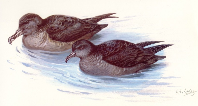 Sooty Shearwater (Puffinus griseus) <!--회색슴새--> & Short-tailed Shearwater (Puffinus tenuirostris) <!--쇠부리슴새-->; DISPLAY FULL IMAGE.