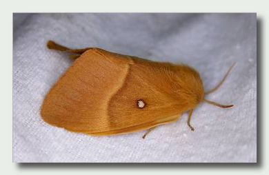 Oak Eggar Moth female  (Lasiocampa quercus); Image ONLY