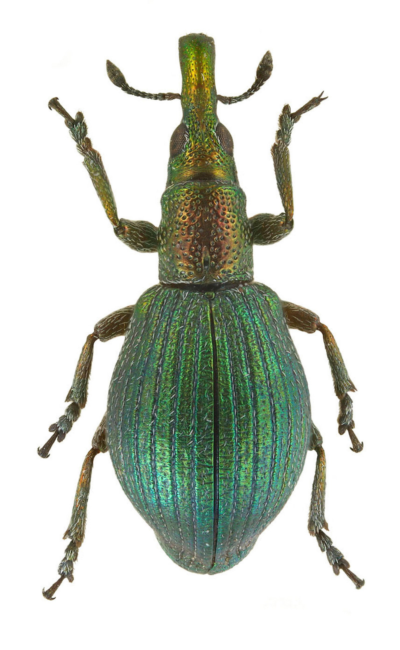 Apion artemisiae (Weevil from Russia) {!--바구미류/창주둥이바구미과(Apionidae)-->; DISPLAY FULL IMAGE.