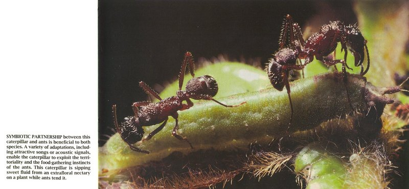 (Symbiosis) Caterpillar and Ants <!--애벌레와 개미의 공생-->; DISPLAY FULL IMAGE.