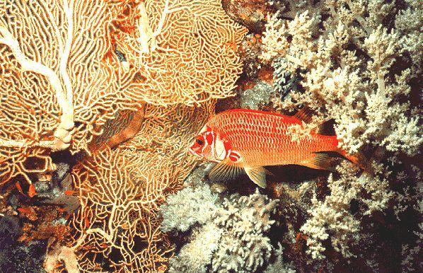 Squirrelfish (Holocentridae) <!--얼게돔과-->; Image ONLY