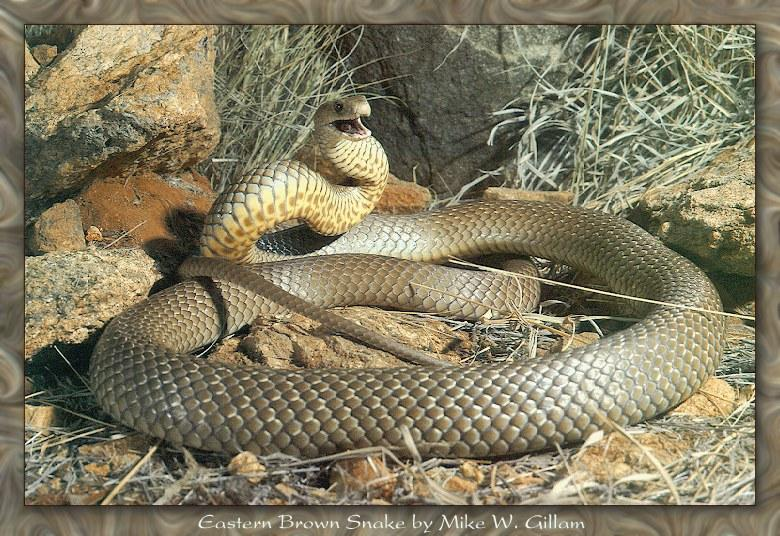 Eastern Brown Snake (Pseudonaja textilis) <!--호주갈색독뱀-->; Image ONLY