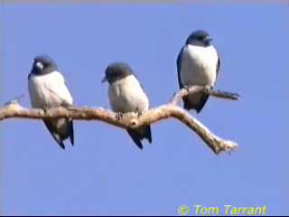 White-breasted Wood-Swallow (Artamus leucorynchus) <!--흰가슴숲제비-->; Image ONLY