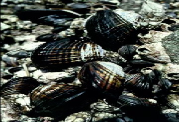 California Mussel (Mytilus californianus) <!--캘리포니아홍합/미국-->; Image ONLY