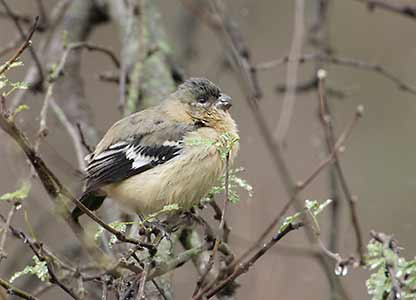 White-collared Seedeater (Sporophila torqueola); Image ONLY