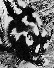 Spotted Skunk (Spilogale sp.) <!--얼룩스컹크-->; Image ONLY