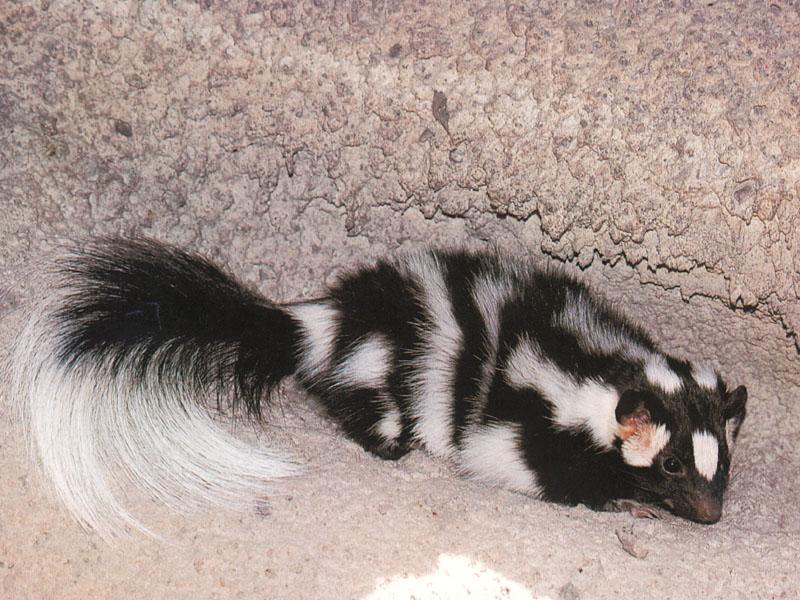 Western Spotted Skunk 01.jpg