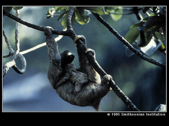 Three-toed Sloth (Bradypus sp.) <!--세가락나무늘보-->; Image ONLY