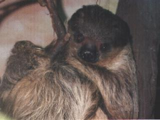 Two-toed Sloth (Choloepus sp.) <!--두가락나무늘보-->; Image ONLY