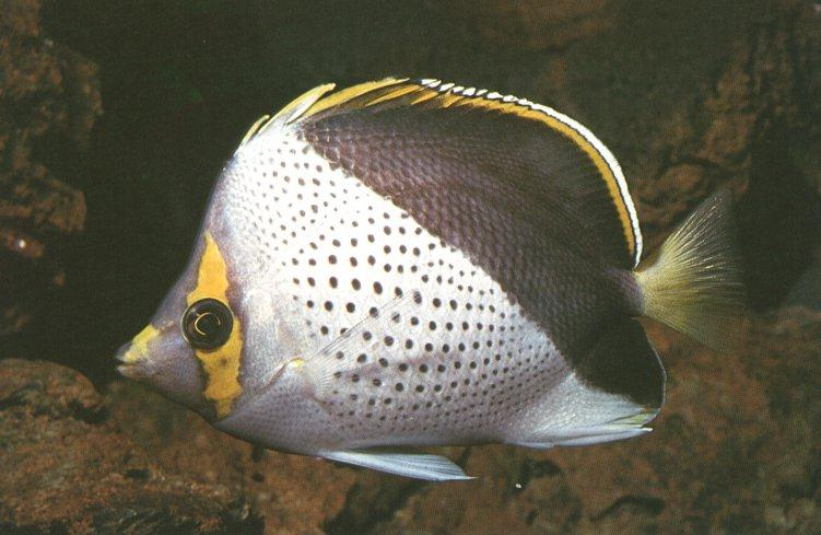 Tinker\'s Butterflyfish 0.jpg