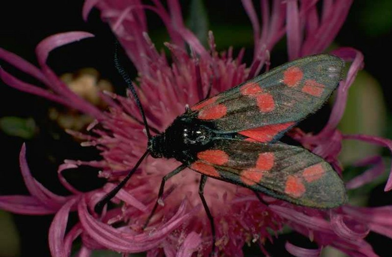 Six-spot Burnet (Zygaena filipendulae) {!--여섯점알락나방/알락나방과(Zygaenidae)-->; DISPLAY FULL IMAGE.