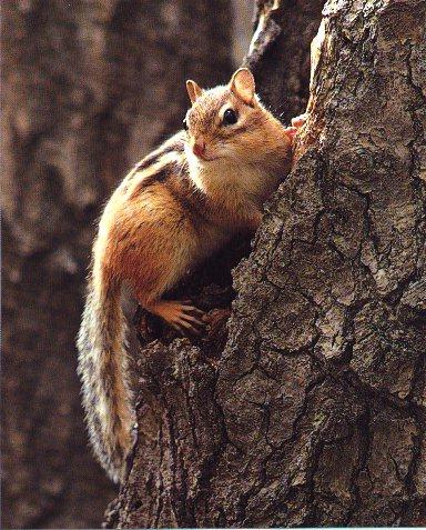 Eastern Chipmunk (Tamias striatus) {!--줄다람쥐-->; Image ONLY