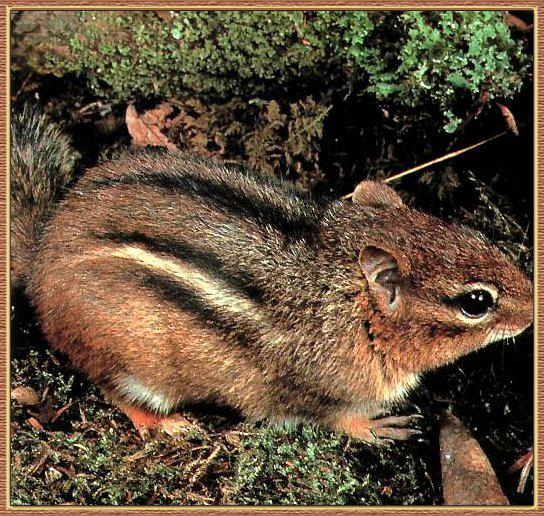 Eastern Chipmunk (Tamias striatus) <!--줄다람쥐-->; Image ONLY
