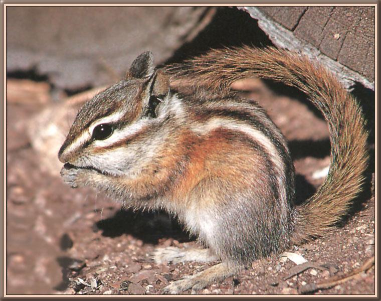 Least Chipmunk (Tamias minimus) <!--쇠다람쥐-->; Image ONLY