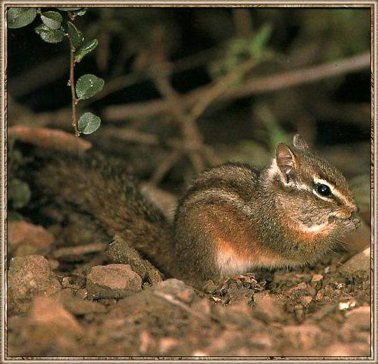 Merriam's Chipmunk (Tamias merriami) <!--메리암다람쥐-->; Image ONLY