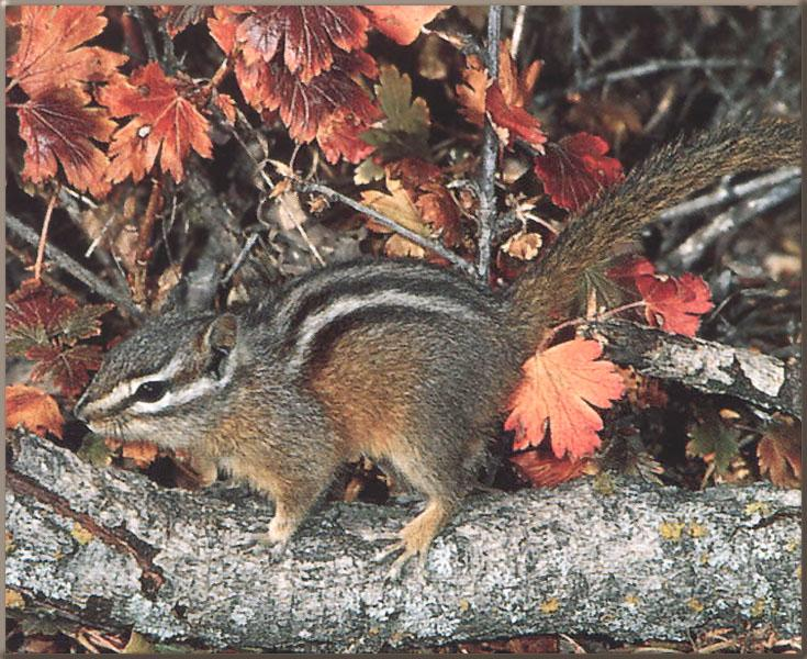 Yellow-pine Chipmunk (Tamias amoenus) <!--노란솔다람쥐-->; Image ONLY