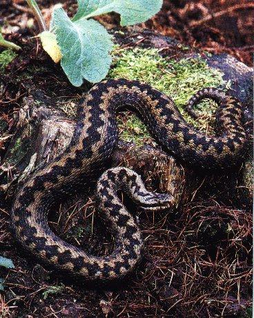 Common Adder (Vipera berus) <!--북살모사-->; Image ONLY