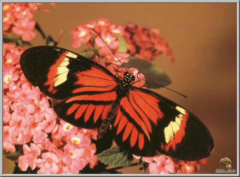 Postman Butterfly (Heliconius melpomene) <!--노랑띠붉은무늬독나비-->; DISPLAY FULL IMAGE.