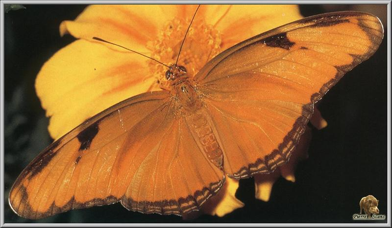 Julia Heliconian (Dryas julia) <!--오렌지독나비-->; DISPLAY FULL IMAGE.