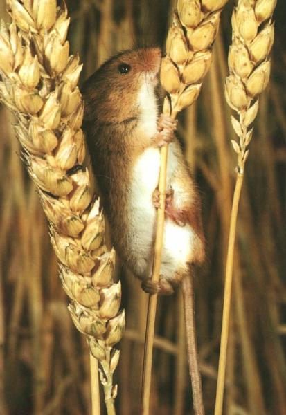 Eurasian Harvest Mouse (Micromys minutus) {!--멧밭쥐-->; Image ONLY