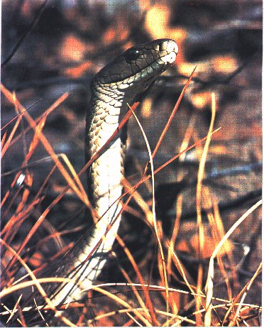 Black Mamba (Dendroaspis polylepis) {!--검정맘바-->; Image ONLY