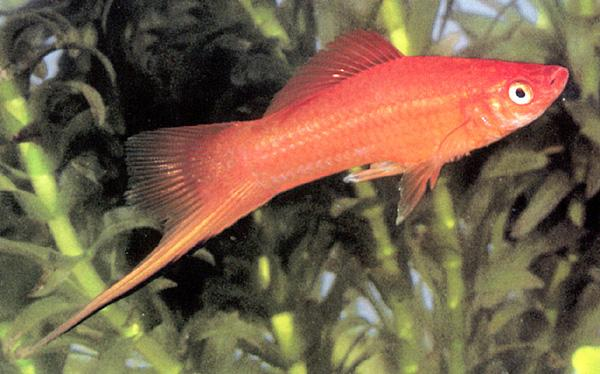 Hogfish (Labridae) <!--사당놀래기-->; Image ONLY