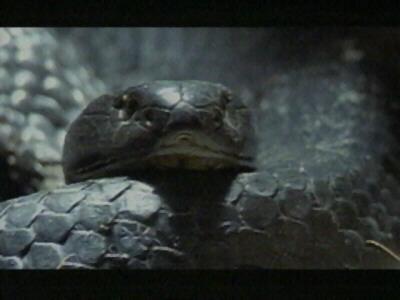 Tiger Rat Snake001-Face Closeup.jpg