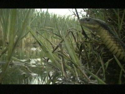 Tiger Rat Snake002-Head Closeup.jpg