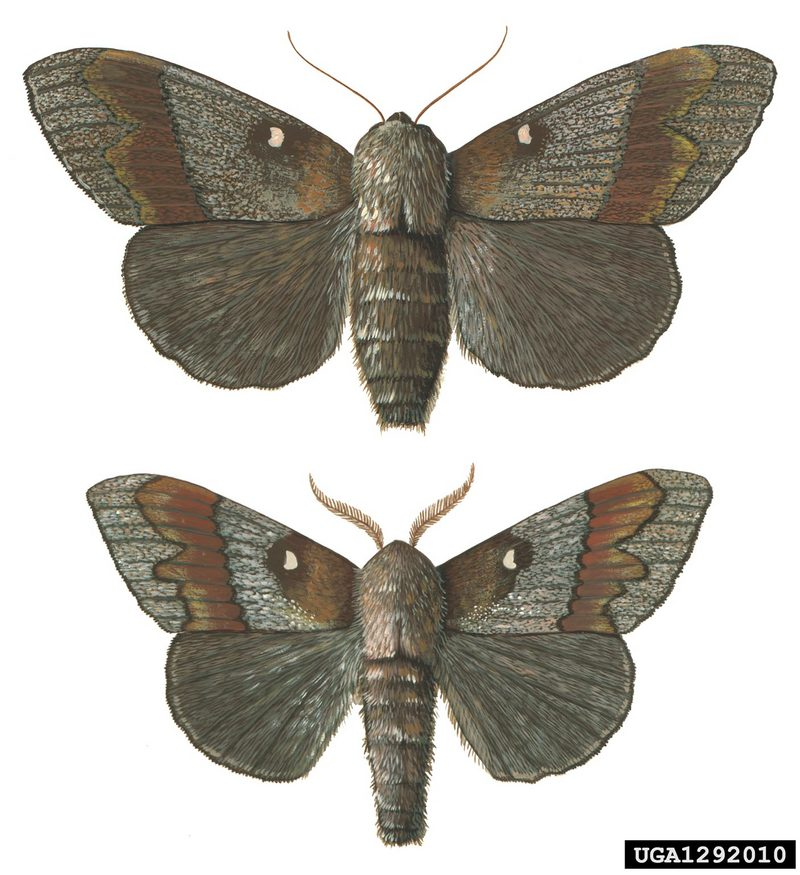 European Pine Moth (Dendrolimus pini) <!--유럽솔나방-->; DISPLAY FULL IMAGE.