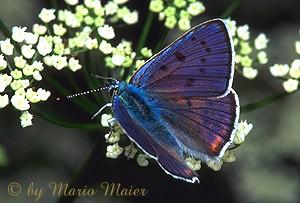 Purple-shot Copper Butterfly (Heodes alciphron) <!-- 보라색주홍부전나비-->; Image ONLY