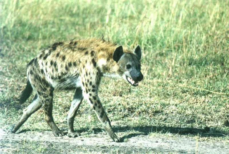 Spotted Hyena; DISPLAY FULL IMAGE.