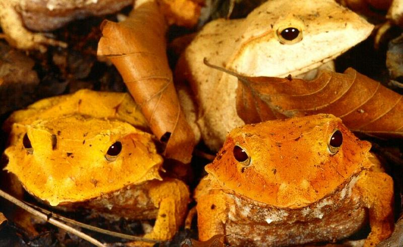 Solomon Island Eyelash Frog (Ceratobatrachus guentheri) <!--솔로몬눈썹개구리-->; DISPLAY FULL IMAGE.