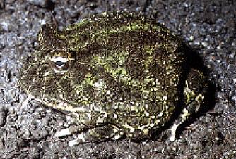 frog pac-Pacman Frog-Ornate Horned Frog.jpg