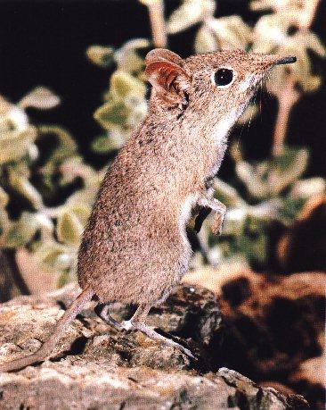 Elephant Shrew (Macroscelididae) <!--코끼리땃쥐(긴코땃쥐)-->; Image ONLY