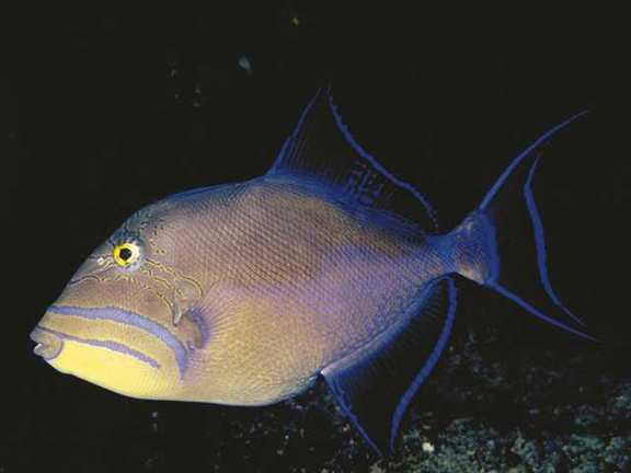 Queen Triggerfish (Balistes vetula) <!--여왕파랑쥐치-->; Image ONLY