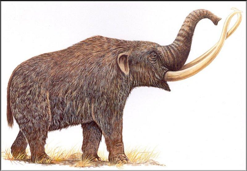 [Extinct Animals] North American Mammoth; DISPLAY FULL IMAGE.