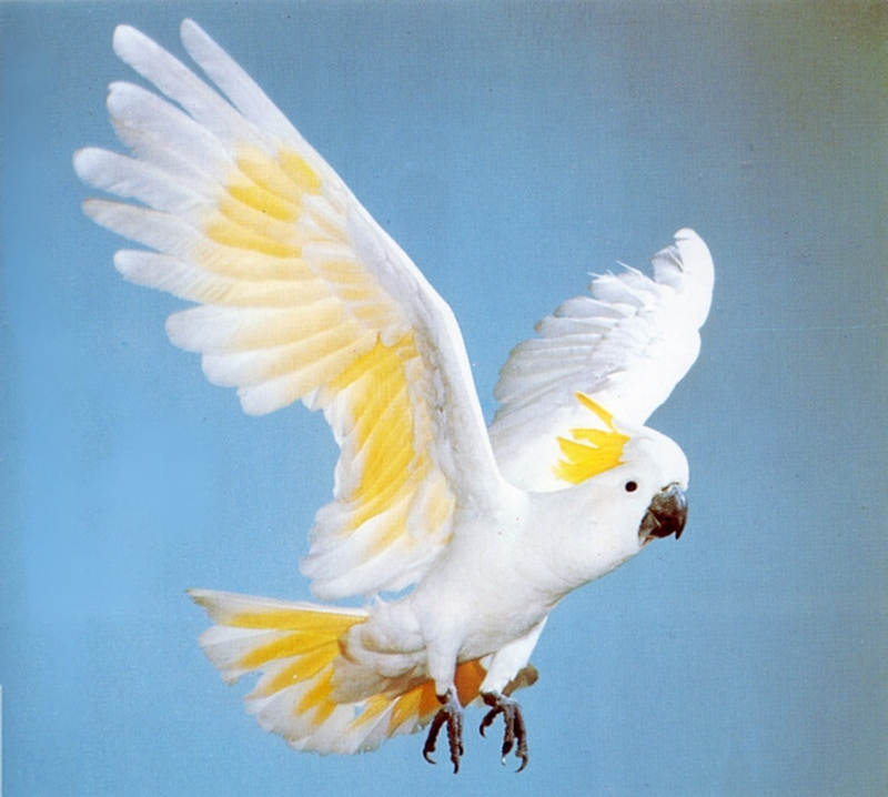 Sulphur-crested Cockatoo (Cacatua galerita) <!--노란관앵무(--冠鸚鵡)-->; DISPLAY FULL IMAGE.