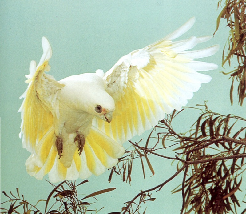 Little Corella (Cacatua sanguinea) <!--붉은이마유황앵무-->; DISPLAY FULL IMAGE.
